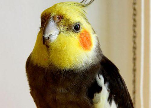 Fezes dos pássaros saem do tecido?